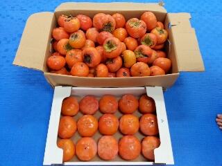 柿のプレゼント
